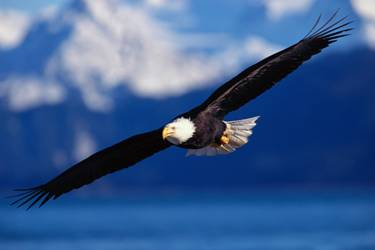 eagle soaring in air